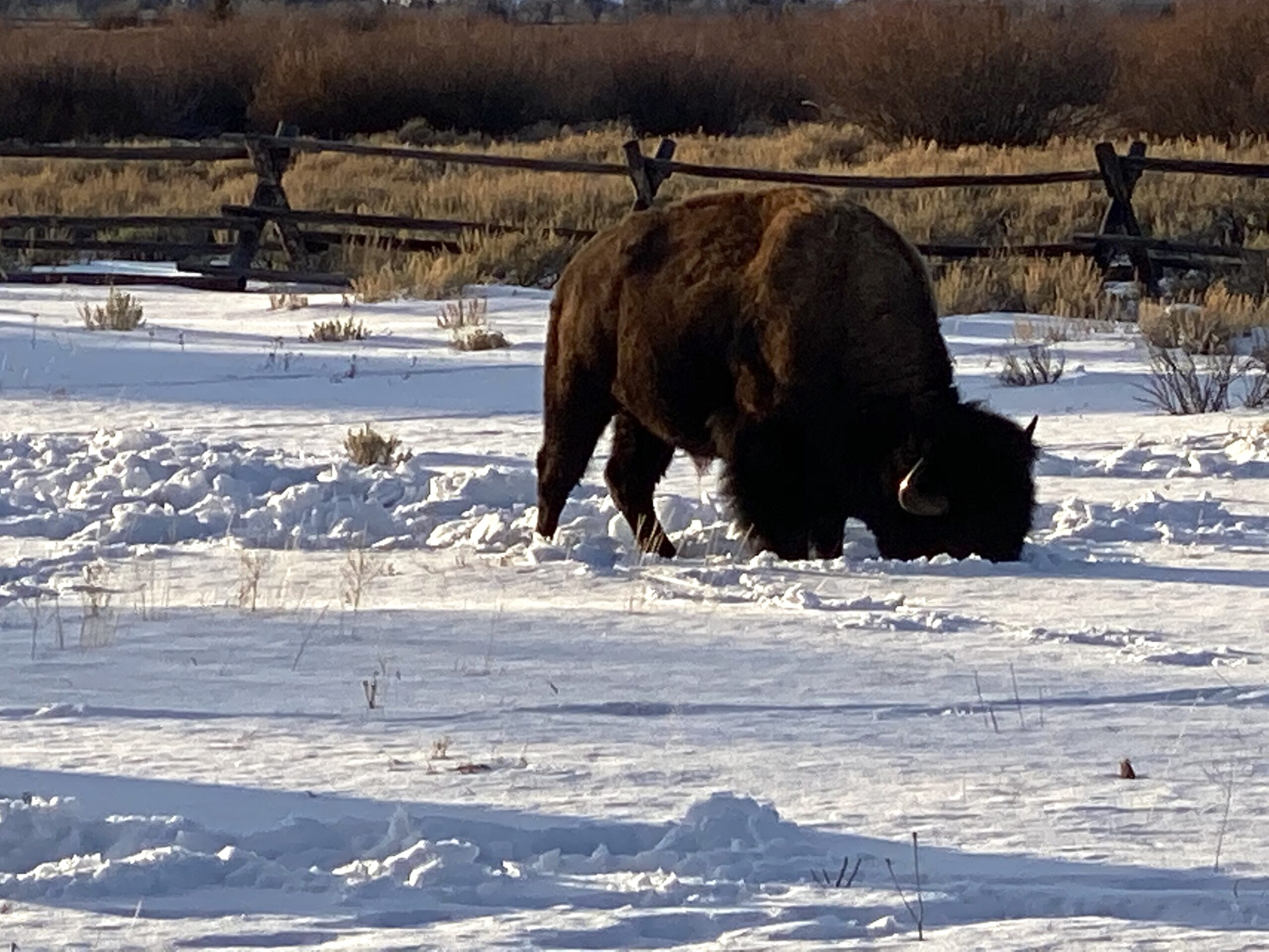 lone bison in snow